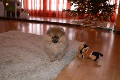 Pomeranian-BONITKA