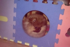 Pomeranian-Ketty
