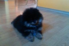 Pomeranian-LUXURY-LAIT-VELLORY-JIN-štěně