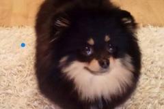 Pomeranian LUXURY-LAIT-VELLORY-JIN