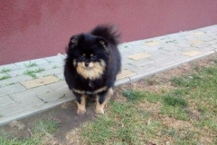 Pomeranian-LUXURY-LAIT-VELLORY-JIN