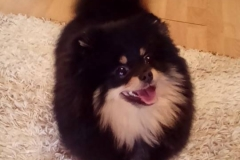Pomeranian-LUXURY-LAIT