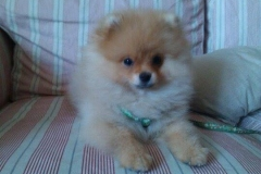 Pomeranian-THESEUS-KING-štěně