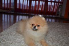 Pomeranian-Theseus-King-4