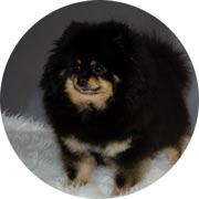 Pomeranian Betty female
